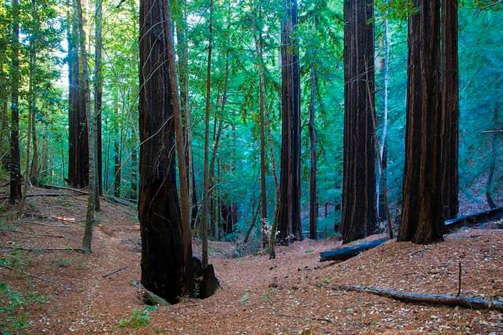 park-redwood-grove-loop-walk