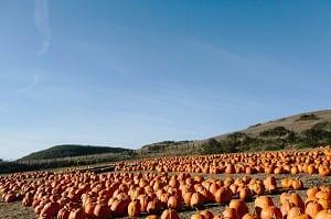 pumpkins-ready