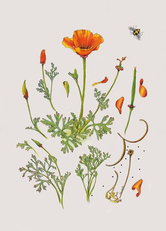 poppies-nature-art-sc-museum-natural-history