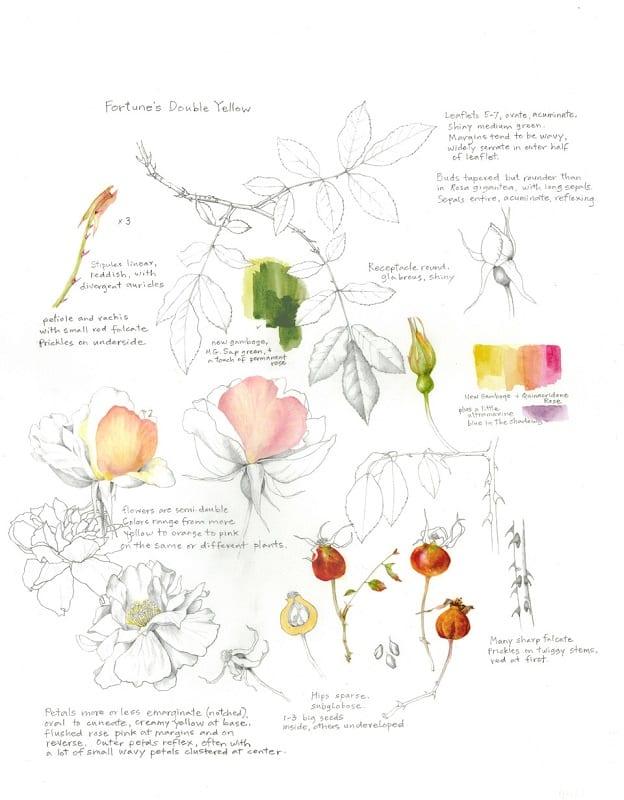 scmus-rose-botanic-artist
