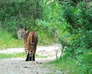 elkhorn-slough-bobcat